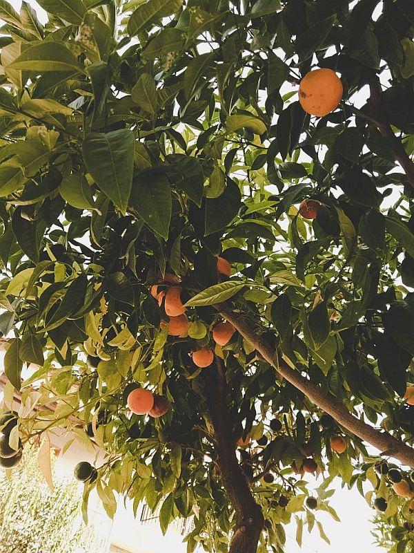 Duftende Orangenbäume in Griechenland