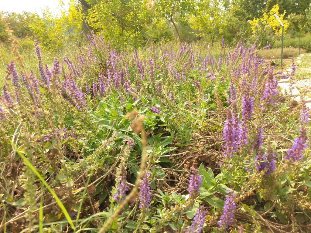 Lavendel im Botanischen Garten