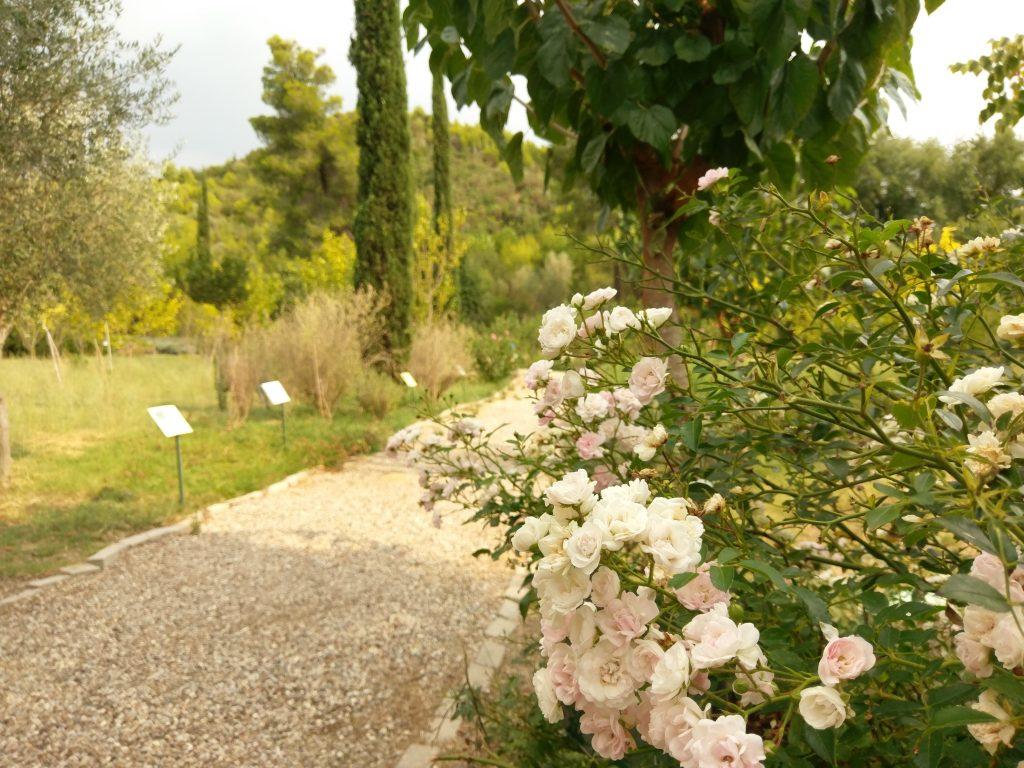 Rosensträucher am Wegesrand im Botanischen Garten