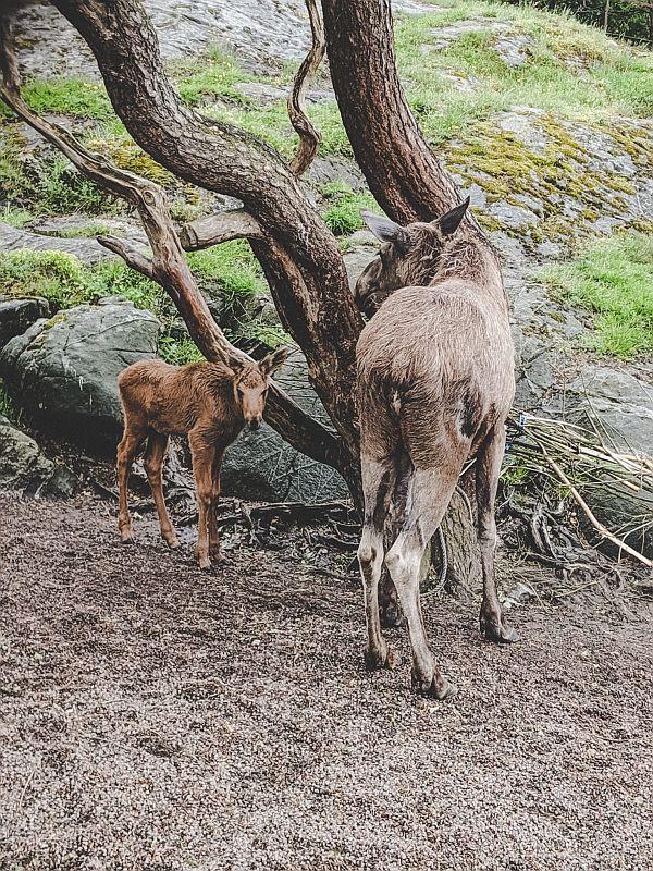 Elche im Slottskogen