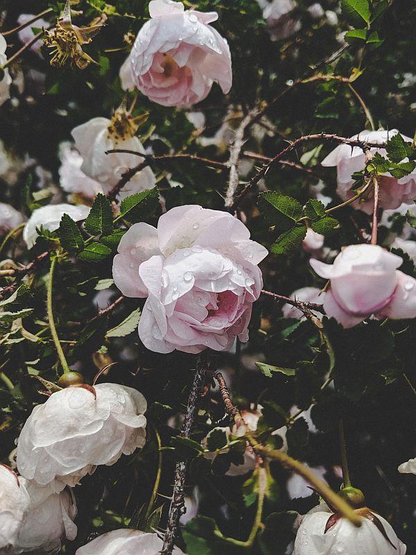 Rosen im Trädgårdsföreningen Park